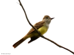 great-crested flycatcher I77A7199© Maria de Bruyn res