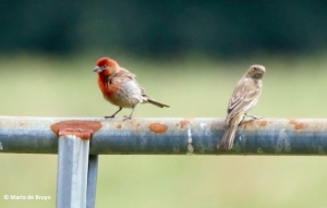 house finch I77A6529© Maria de Bruyn res