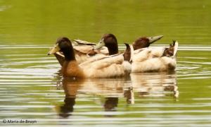 mallard duck I77A7320© Maria de Bruyn res