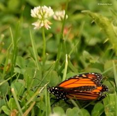 monarch I77A6970© Maria de Bruyn res