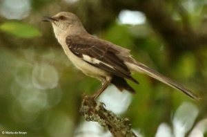 Northern mockingbird I77A7669© Maria de Bruyn res