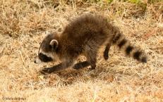 raccoon I77A7225© Maria de Bruyn res