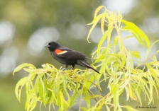 red-winged blackbird I77A6920© Maria de Bruyn res