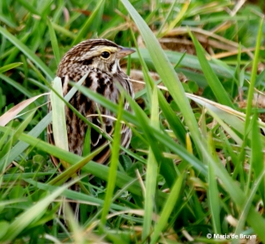 Savannah sparrow I77A8690© Maria de Bruyn res