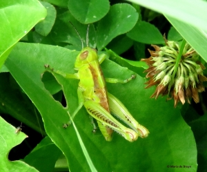 spur-throated grasshopper Melanoplus IMG_0152© Maria de Bruyn res