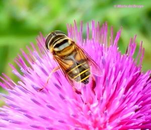Syrphid fly - Palpada vinetorum IMG_4422© Maria de Bruyn bg