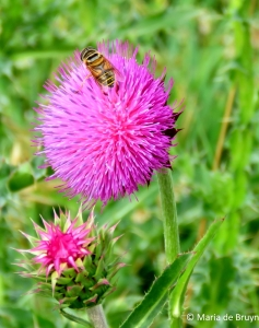 Syrphid fly - Palpada vinetorum IMG_4422© Maria de Bruyn res