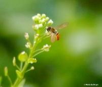 syrphid fly Sphaerophoria I77A5781© Maria de Bruyn