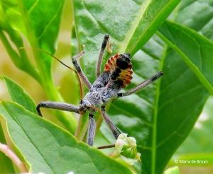 Wheel bug - Arilus cristatus IMG_4499© Maria de Bruyn
