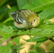 bay-breasted-warbler-i77a1003-maria-de-bruyn-res