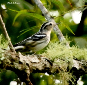 black-and-white-warbler-i77a3458-maria-de-bruyn