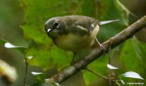 black-throated-blue-warbler-i77a8117-maria-de-bruyn-res