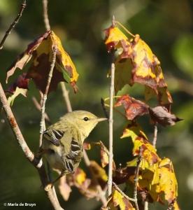 blackpoll-warbler-i77a1289-maria-de-bruyn-res