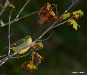 blackpoll-warbler-i77a1315-maria-de-bruyn-res