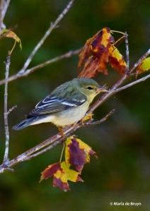 blackpoll-warbler-i77a1320-maria-de-bruyn-res
