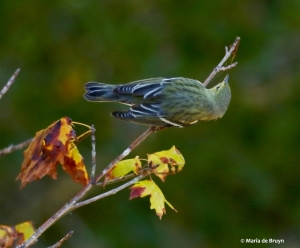 blackpoll-warbler-i77a1329-maria-de-bruyn-res