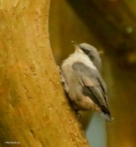 brown-headed-nuthatch-i77a3736-maria-de-bruyn-res