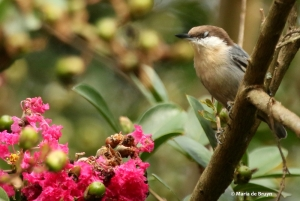 brown-headed-nuthatch-i77a4527-maria-de-bruyn-res