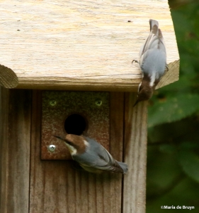 brown-headed-nuthatch-i77a7439-maria-de-bruyn-res