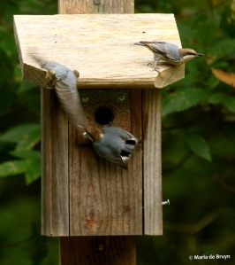 brown-headed-nuthatch-i77a7441-maria-de-bruyn-res