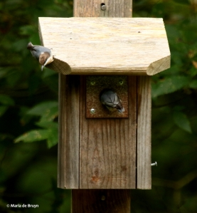 brown-headed-nuthatch-i77a7459-maria-de-bruyn-res