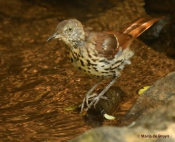 brown-thrasher-i77a4880maria-de-bruyn-res