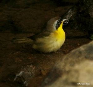 common-yellowthroat-i77a4316maria-de-bruyn-res