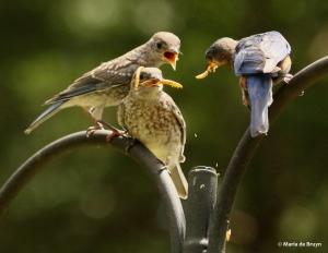 eastern-bluebird-i77a7134-maria-de-bruyn-res