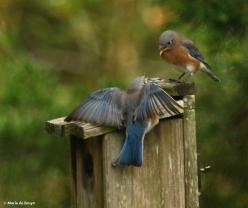 eastern-bluebird-i77a9722-maria-de-bruyn-res