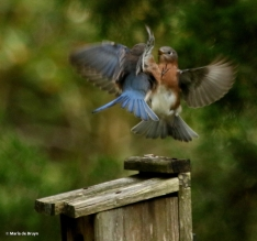 eastern-bluebird-i77a9723-maria-de-bruyn-res
