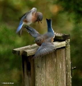 eastern-bluebird-i77a9725-maria-de-bruyn-res