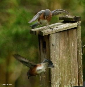 eastern-bluebird-i77a9726-maria-de-bruyn-res