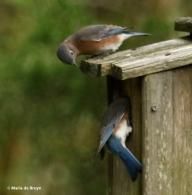 eastern-bluebird-i77a9732-maria-de-bruyn-res