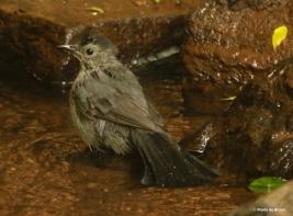 gray-catbird-i77a4922maria-de-bruyn-res