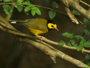hooded-warbler-i77a4728-maria-de-bruyn-res