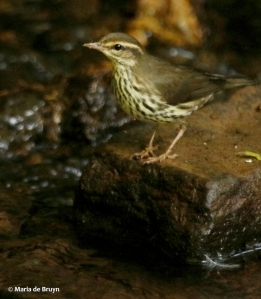 northern-waterthrush-i77a5013maria-de-bruyn-res