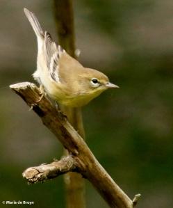 pine-warbler-i77a0184-maria-de-bruyn-res