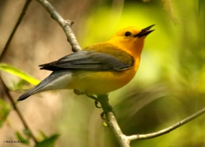 prothonotary-warbler-i77a2854-maria-de-bruyn-res