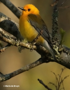 prothonotary-warbler-i77a9933-maria-de-bruyn-res