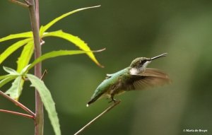 ruby-throated-hummingbird-2-i77a5105-maria-de-bruyn-res