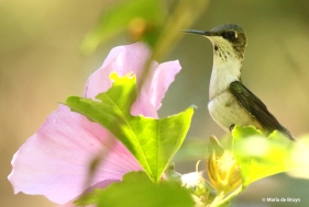 ruby-throated-hummingbird-i77a0290-maria-de-bruyn-res