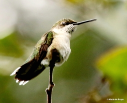 ruby-throated-hummingbird-i77a0553-maria-de-bruyn-res