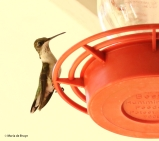 ruby-throated-hummingbird-i77a0810-maria-de-bruyn-res