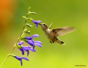 ruby-throated-hummingbird-i77a1023-maria-de-bruyn-res