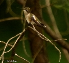 ruby-throated-hummingbird-i77a1099-maria-de-bruyn-res