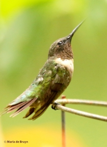 ruby-throated-hummingbird-i77a1126-maria-de-bruyn-res