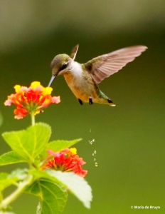 ruby-throated-hummingbird-i77a1170-maria-de-bruyn-res