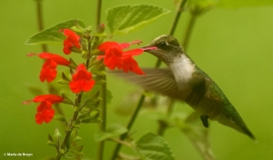 ruby-throated-hummingbird-i77a1237-maria-de-bruyn-res