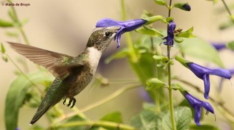 ruby-throated-hummingbird-i77a1315-maria-de-bruyn-res