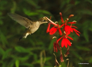 ruby-throated-hummingbird-i77a2198-maria-de-bruyn-res
